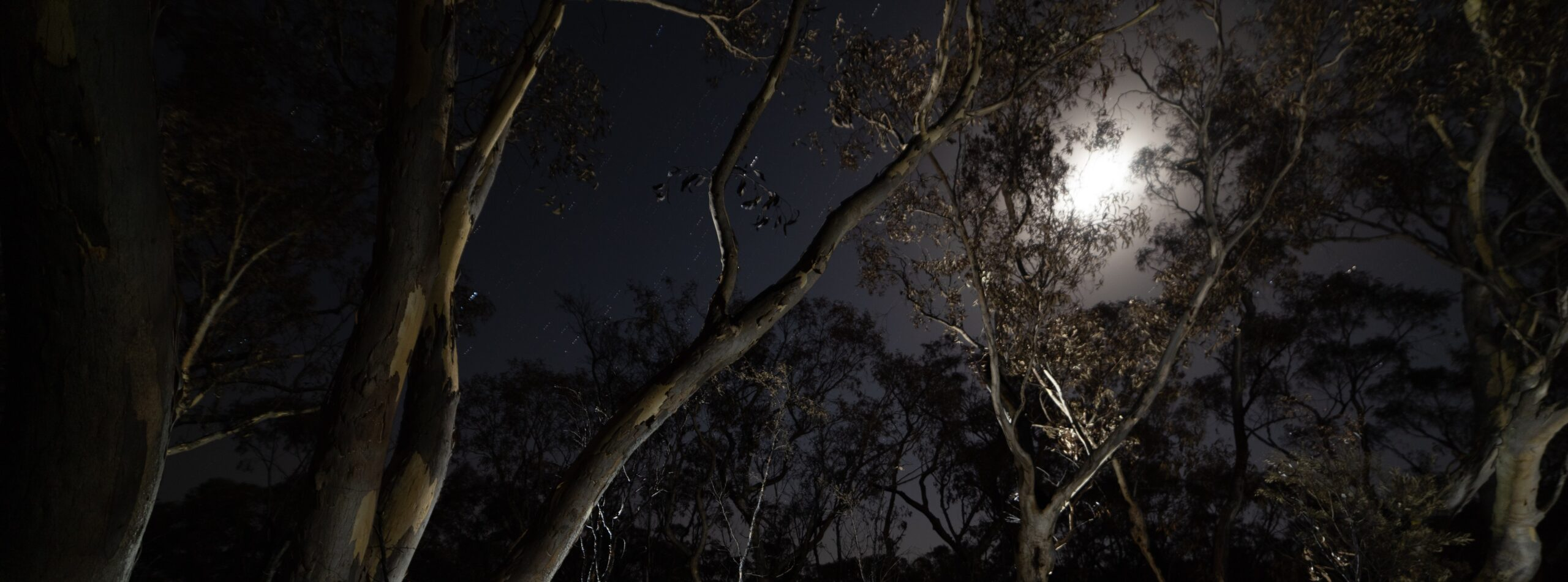 Moonlit trees after the fire